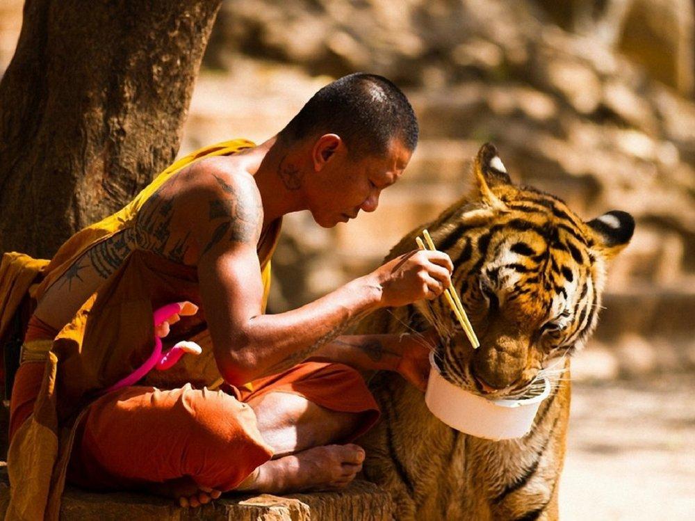 tigr-buddist-eda.thumb.jpg.88180802849531f4f04332d2258cb4b8.jpg