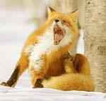 Chi-Fox